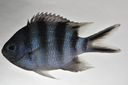 Abudefduf_sexfasciatus_81_7_mmSL_SCIL-257_SCIL-2014-15_Photo_by_JT_Williams_2014-12-04_17-41-00.jpg