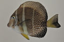 Acanthurus_guttatus_90_5_mm_SL_AUST-428_AUST-2013-15_Photo-JTWilliams_2013-04-17_20-55-14.jpg