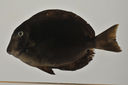 Acanthurus_leucopareius_124_8_mm_SL_AUST-291_AUST-2013-10_Photo-JTWilliams_2013-04-15_16-31-32.jpg