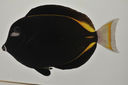 Acanthurus_nigricans_154_0_mm_SL_AUST-507_AUST-2013-19_Photo-JTWilliams_2013-04-19_16-47-31.jpg
