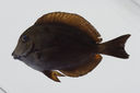 Acanthurus_nigroris_113_8_mm_SL-_JTWilliams-GAM-742-GAM-2010-38_20101012_002424.JPG