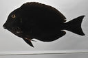 Acanthurus_nigroris_131_1_mmSL_SCIL-151_SCIL-2014-10_Photo_by_JT_Williams_2014-12-02_15-25-11.jpg
