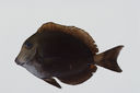 Acanthurus_nigroris_97_9_mm_SL-_JTWilliams-GAM-743-GAM-2010-38_20101012_002751.JPG