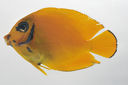 Acanthurus_olivaceus_45_1_mmSL_SCIL-175_SCIL-2014-11_Photo_by_JT_Williams_2014-12-03_15-46-38.jpg