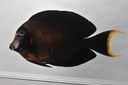 Acanthurus_pyroferus_110_5_mmSL_SCIL-168_SCIL-2014-11_Photo_by_JT_Williams_2014-12-03_15-19-53.jpg