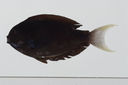 Acanthurus_thompsoni_143_0_mm_SL-JTWilliams-GAM-705-GAM-2010-36_20101010_181116.JPG