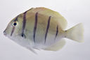 Acanthurus_triostegus_45_0_mmSL_SCIL-227_SCIL-2014-14_Photo_by_JT_Williams_2014-12-04_14-42-25.jpg