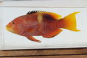 Bodianus_perditio_345_mm_SL-JTWilliams-GAM-586-GAM-2010-27_20101007_155037.JPG
