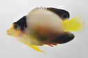 Centropyge_multifasciatus_30_1_mmSL_SCIL-162_SCIL-2014-11_Photo_by_JT_Williams_2014-12-03_14-54-15.jpg
