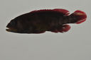 Cephalopholis_urodeta_35_2_mm_SL_AUST-505_AUST-2013-19_Photo-JTWilliams_2013-04-19_16-40-01.jpg