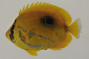 Chaetodon_bennetti_109_7_mm_SL_AUST-230_AUST-2013-06_Photo-JTW_2013-04-13_22-26-37.jpg
