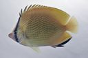 Chaetodon_citrinus_84_5_mmSL_SCIL-306_SCIL-2014-18_Photo_by_JT_Williams_2014-12-05_15-40-01.jpg