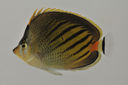Chaetodon_pelewensis_67_9_mm_SL_AUST-227_AUST-2013-06_Photo-JTW_2013-04-13_22-17-33.jpg