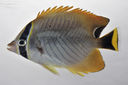 Chaetodon_trifascialis_65_7_mmSL_SCIL-307_SCIL-2014-18_Photo_by_JT_Williams_2014-12-05_15-44-38.jpg