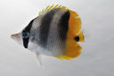 Chaetodon_ulietensis_52_8_mmSL_SCIL-308_SCIL-2014-18_Photo_by_JT_Williams_2014-12-05_15-47-55.jpg