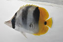 Chaetodon_ulietensis_84_4_mmSL_SCIL-223_SCIL-2014-14_Photo_by_JT_Williams_2014-12-04_14-29-53.jpg