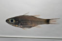 Cheilodipterus_artus_84_1_mmSL_SCIL-332_SCIL-2014-19_Photo_by_JT_Williams_2014-12-06_15-54-05.jpg