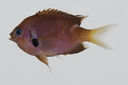 Chromis_agilis_73_2_mm_SL-_JTWilliams-GAM-829-GAM-2010-48_20101014_221324.JPG
