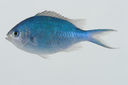 Chromis_atripectoralis_32_2_mm_SL-JTWilliams-GAM-265_GAM-2010-13_20101002_181143.JPG