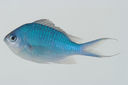 Chromis_atripectoralis_702C7_mm_SL-JTWilliams-GAM-063_GAM-2010-02_20100930_031234.JPG