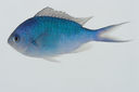 Chromis_atripectoralis_84_7_mm_SL-JTWilliams-GAM-266_GAM-2010-13_20101002_181328.JPG