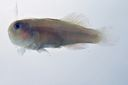 Gobiodon_rivulatus_19_4_mmSL_SCIL-255_SCIL-2014-15_Photo_by_JT_Williams_2014-12-04_17-27-29.jpg