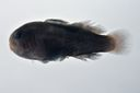 Gobiodon_rivulatus_22_3_mmSL_SCIL-240_SCIL-2014-14_Photo_by_JT_Williams_2014-12-04_15-30-23.jpg