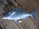Lethrinus_olivaceous_2851029-_about_495_mm_SL-_tissued_and_photoed_-_specimen_discarded.jpg