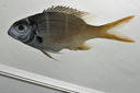 Monotaxis_heterodon__mmSL_SCIL-331_SCIL-2014-19_Photo_by_JT_Williams_2014-12-06_15-51-31.jpg