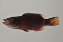 Oxycheilinus_unifasciatus_107_5_mm_SL_AUST-235_AUST-2013-07_Photo-JTW_2013-04-14_17-31-37.jpg