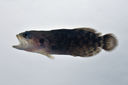 Pseudogramma_polyacanthum_45_0_mmSL_SCIL-230_SCIL-2014-14_Photo_by_JT_Williams_2014-12-04_14-52-27.jpg