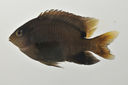 Stegastes_nigricans_60_3_mm_SL_AUST-022_AUST-2013-01_Photo-JTW_2013-04-10_23-01-07.jpg