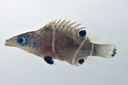 Wetmorella_albofasciata_40_0_mmSL_SCIL-125_SCIL-2014-08_Photo_by_JT_Williams_2014-12-01_17-08-12.jpg