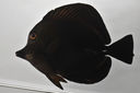 Zebrasoma_scopas_117_2_mmSL_SCIL-154_SCIL-2014-10_Photo_by_JT_Williams_2014-12-02_15-39-05.jpg
