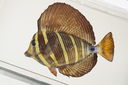 Zebrasoma_velliferum_pinned_172__mm_SL_Moorea-F-06-036_MBIO1646.JPG